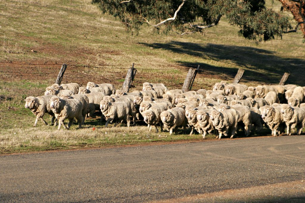 A flock of naked sheep indecently ambling down a road. Image: Fir0002/Flagstaffotos