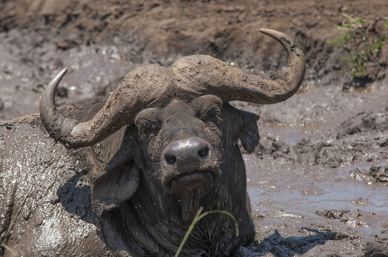 This buffalo at a safari park in South Africa is covered in mud, just as the sheep in the article were. Image: FRIE VDBERGHE/Pixabay