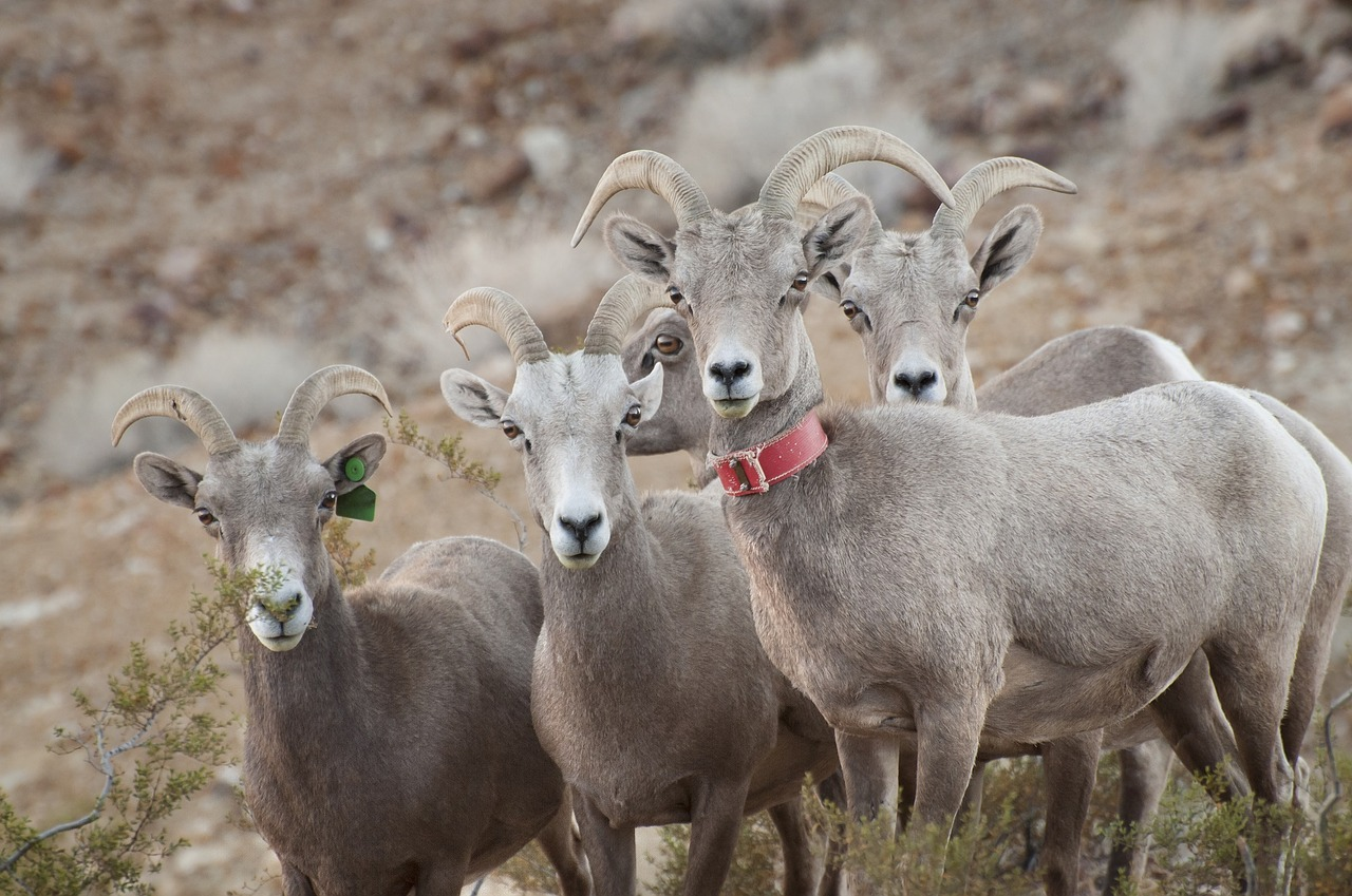 All of these Desert Bighorn Sheep looking quizzically at us are indecent, but one of them wears a fashionable accessory around its neck. Image: skeeze/Pixabay